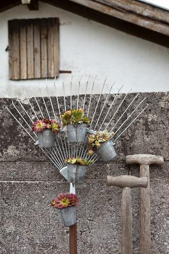 Houseleeks hung from rake in small buckets