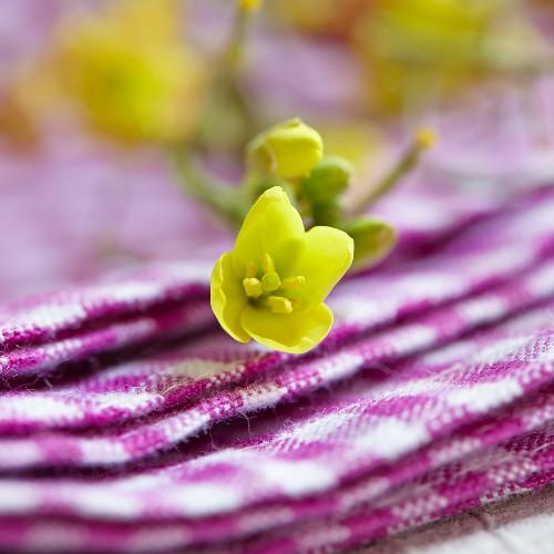 Yellow perennial wall-rocket flowers (diplotaxis tenuifolia)