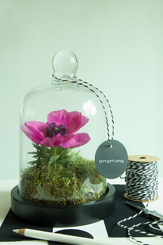 Anemone under glass cover
