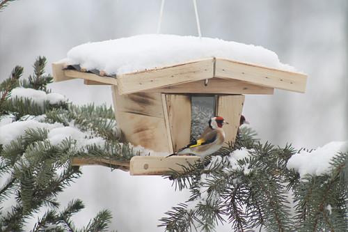 Distelfink am verschneiten Futterhäuschen auf einem Ast