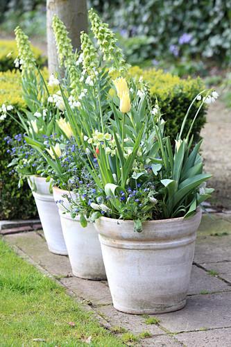 Töpfe mit Frühlings-Bepflanzung: persische Kaiserkrone 'Ivory Bells' mit Tulpen, Märzenbecher und Vergißmeinnicht