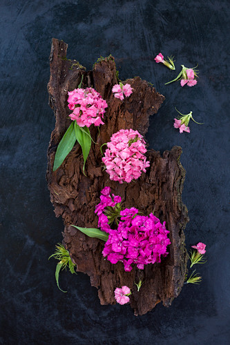 Sweet Williams (Dianthus barbatus) on bark on dark surface