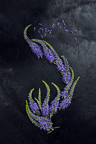 Blüten vom Ehrenpreis als Legebild auf dunklem Untergrund