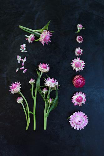 Strohblumen-Blüten (Xerochrysum bracteatum) als Legebild auf dunklem Untergrund
