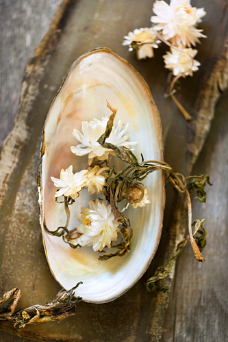 Everlasting flowers in freshwater mussel shell