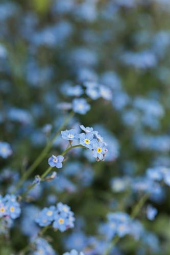 Blüten von Vergißmeinnicht