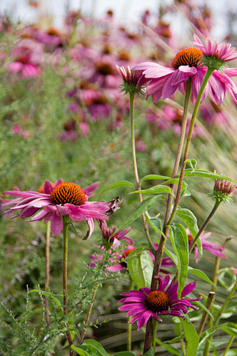 Orange Coneflowers in a Garden
