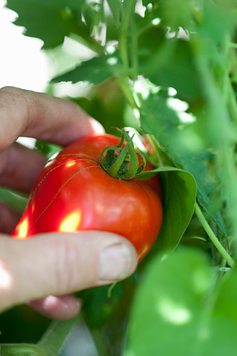 Hand picking tomato from plant