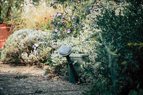 Old Watering Can On Autumnal Perennial Border
