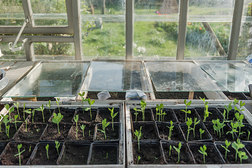 Growing early summer flowers in the greenhouse