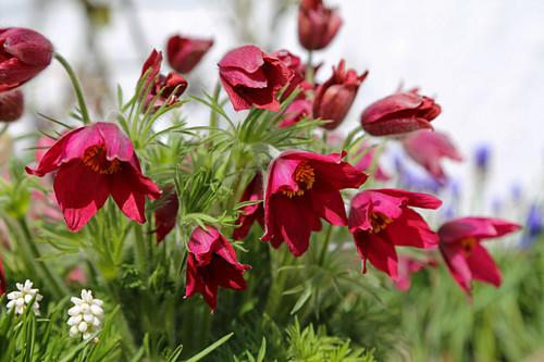 Red pasqueflower