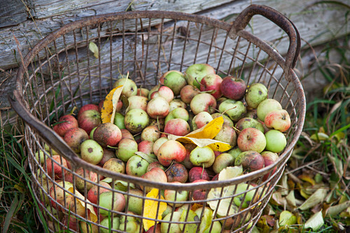 Windfall fruits in basket