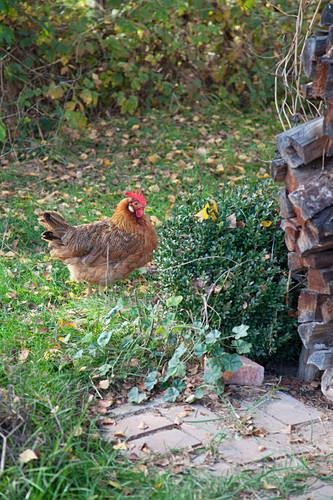 Italian hen in garden