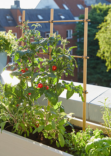 Tomatoes in planter on balcony