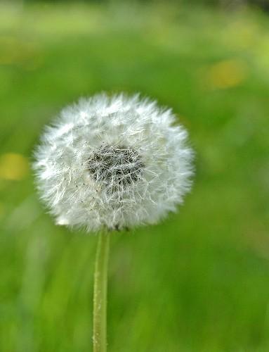 A dandelion clock in a field