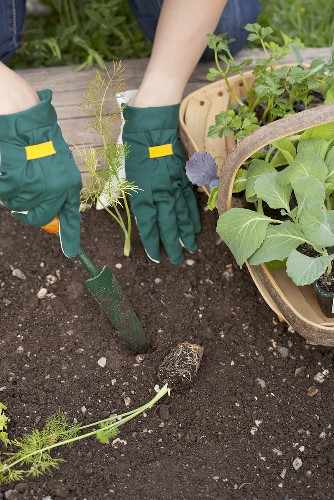 Fennel being planted in a vegetable patch