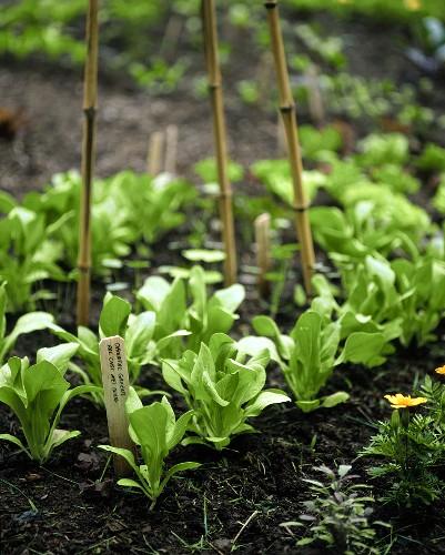 Pak choi plants in vegetable garden