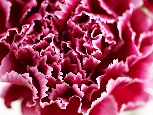 Red carnations (close up)