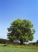 Lime tree in a meadow
