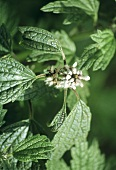 Medicinal herbs: motherwort, plant with flowers (outdoors)