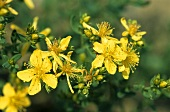 St. John's Wort in flower