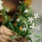Flowering jasmine (Jasminum officin., for oil, tea)