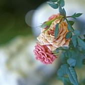 Flowering dwarf rose