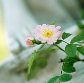 Flowering dog rose
