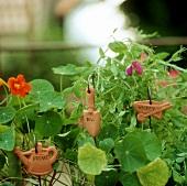 Nasturtiums and sweet peas in herb garden