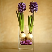 Hyacinths with purple stones in glass