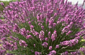 Flowering lavender plant in open air (close-up)