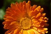 Marigold flower (Calendula)