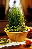 Small Thuja as table decoration for Christmas