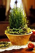 Small Thuja as table decoration for Christmas