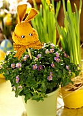 Exacum affine with Easter decorations