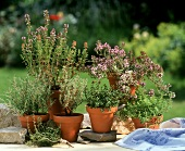 Various types of thyme in pots