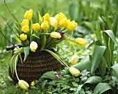 Gelber Tulpenstrauss in einem Körbchen im Garten