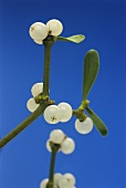 Sprig of mistletoe with leaves and fruits (medicinal plant)