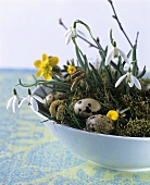 Easter nest with snowdrops and quail's eggs