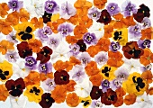 Different-coloured pansies