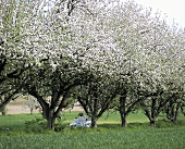 Laid table under flowering apple trees