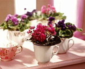 Light and dark purple African violets planted in cups