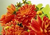 Orange dahlias (radiating warmth and energy)