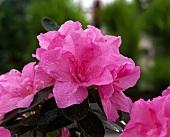 Rosafarbene Azalee, Nahaufnahme