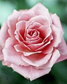 A rose (close-up)