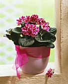 Pink African violets in cache-pot
