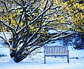Bench under flowering witch-hazel (Hamamelis) in snow
