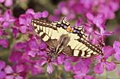 Butterfly in phlox flower