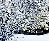 Witch-hazel (Hamamelis) in snow-covered garden