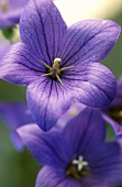 Bluebell; close-up
